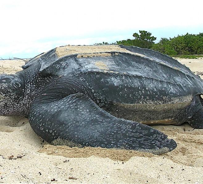 Żółw skórzasty