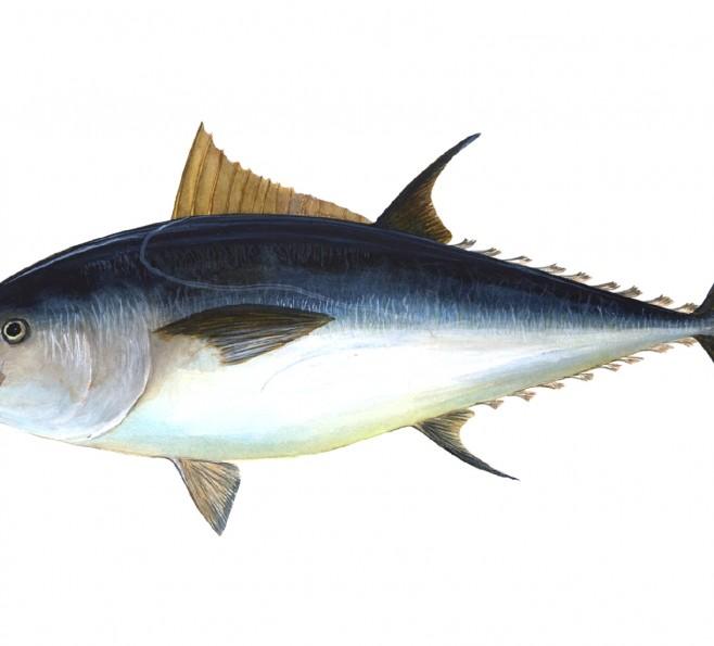 Tuńczyk błękitnopłetwy