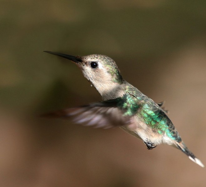Koliberek Hawański