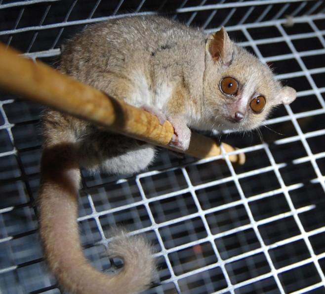 Lemurek myszaty